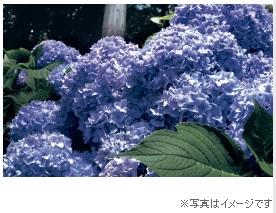 0524-5-imageajisai